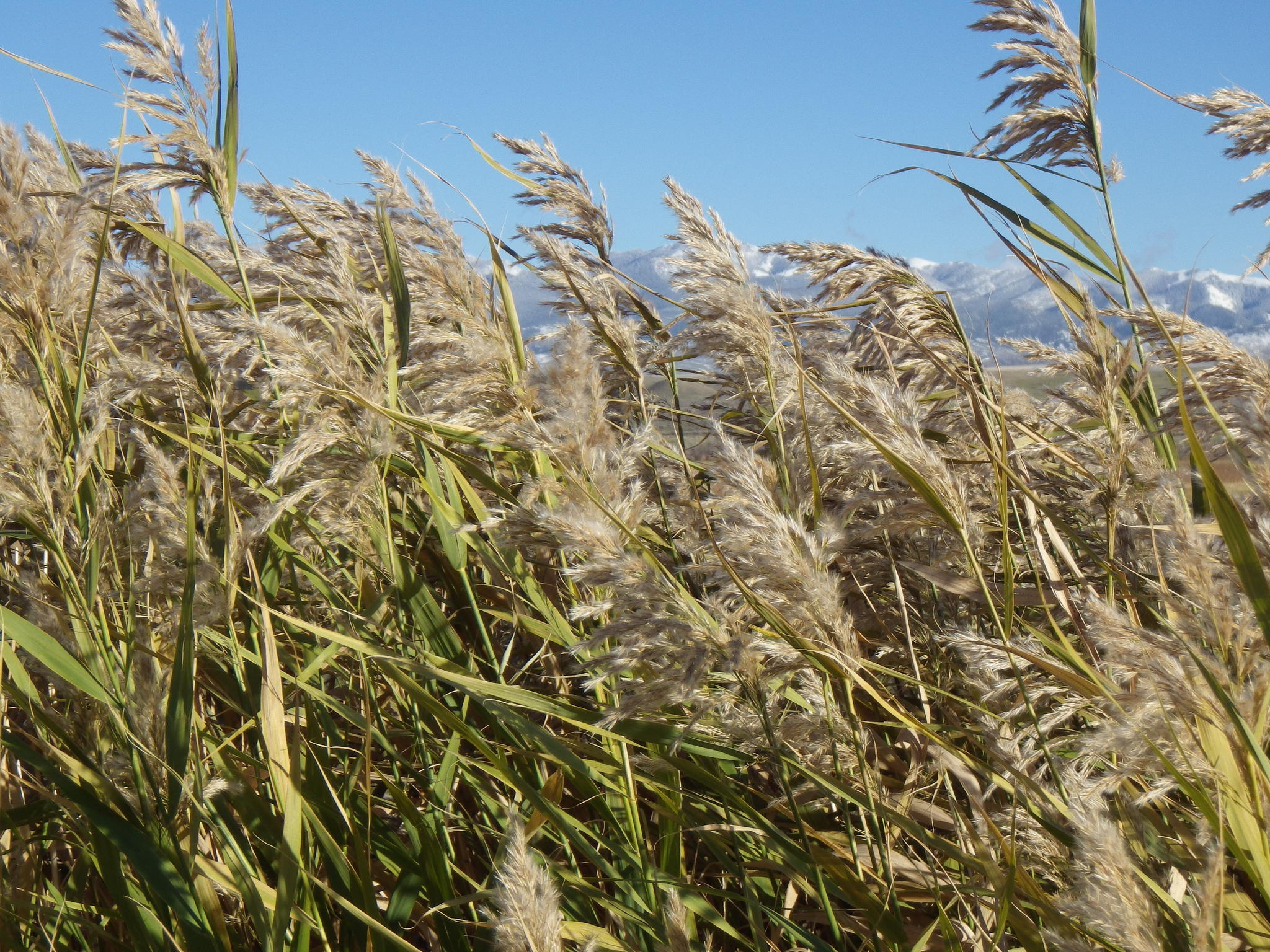 Has Phragmites Met Its Match?