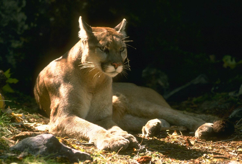 California Mountain Lions