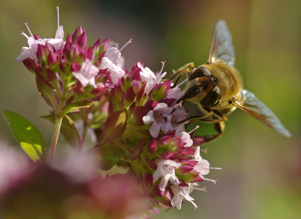 Wild Bee Loss Puts Crops At Risk