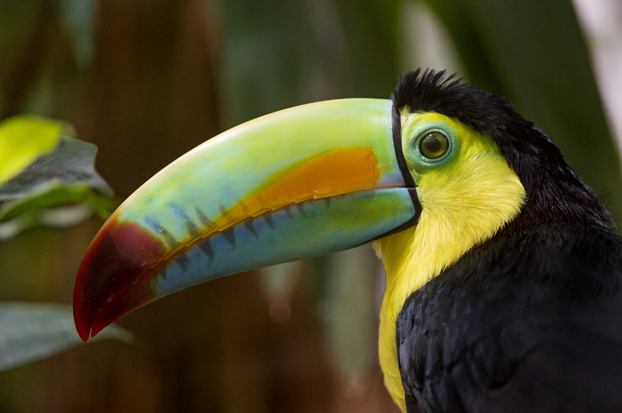 Primates And Toucans As Climate Allies