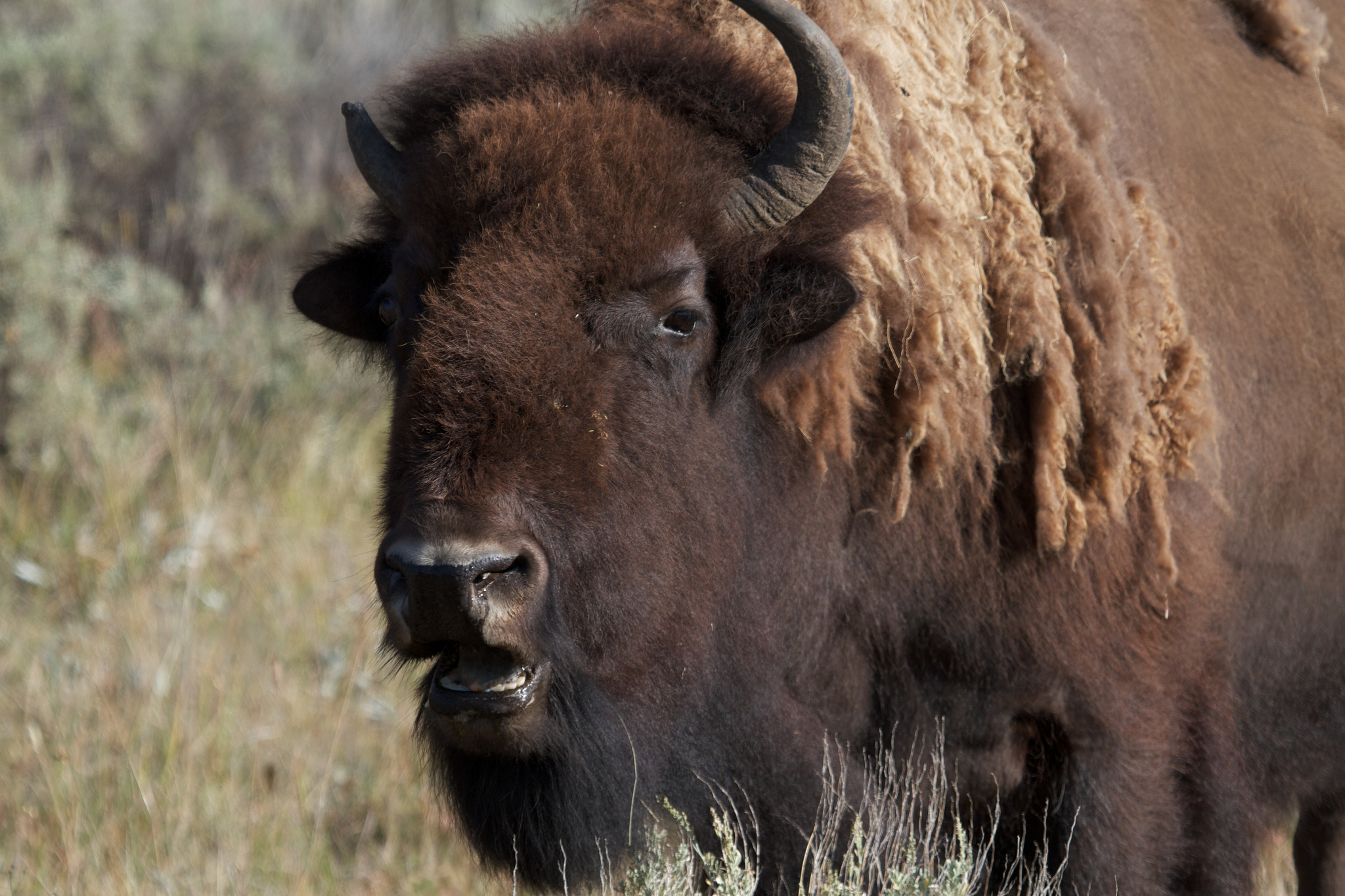 The Incredible Shrinking Bison