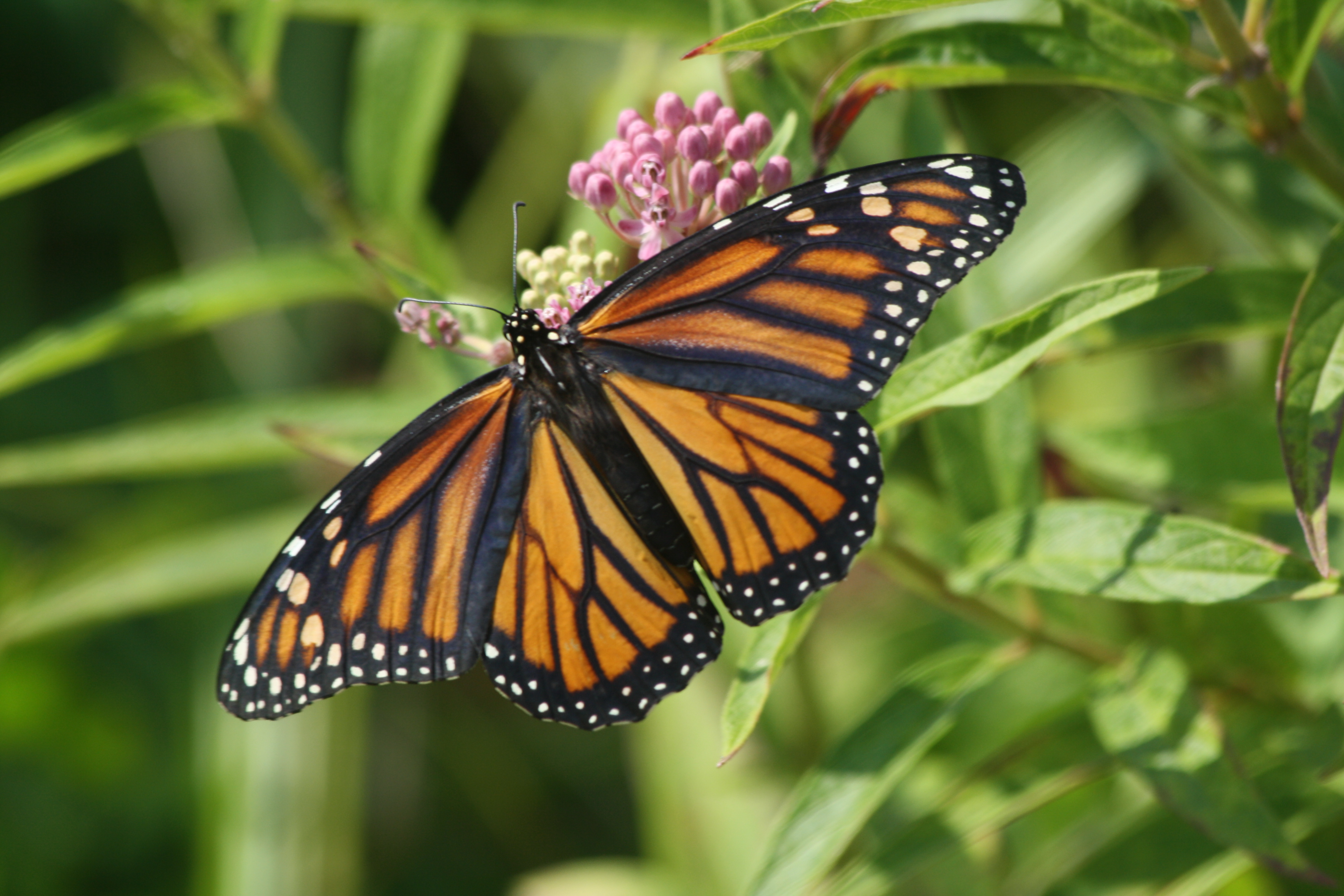 Some Good News For Monarchs