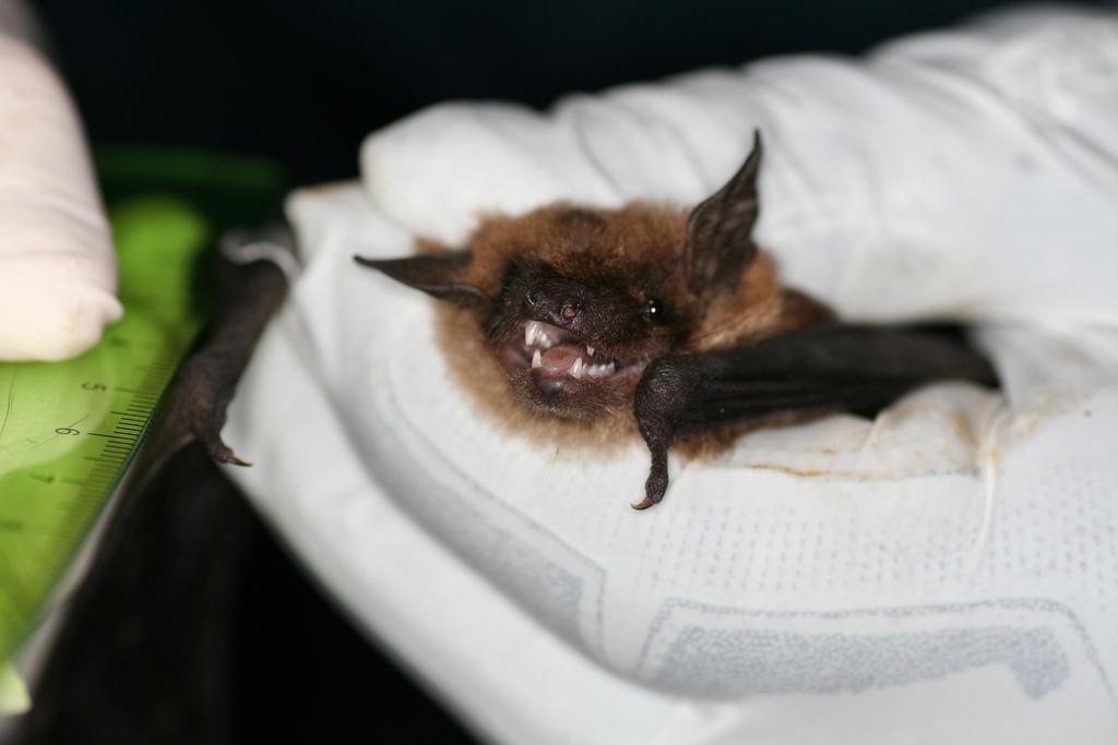 Ebola And Bats