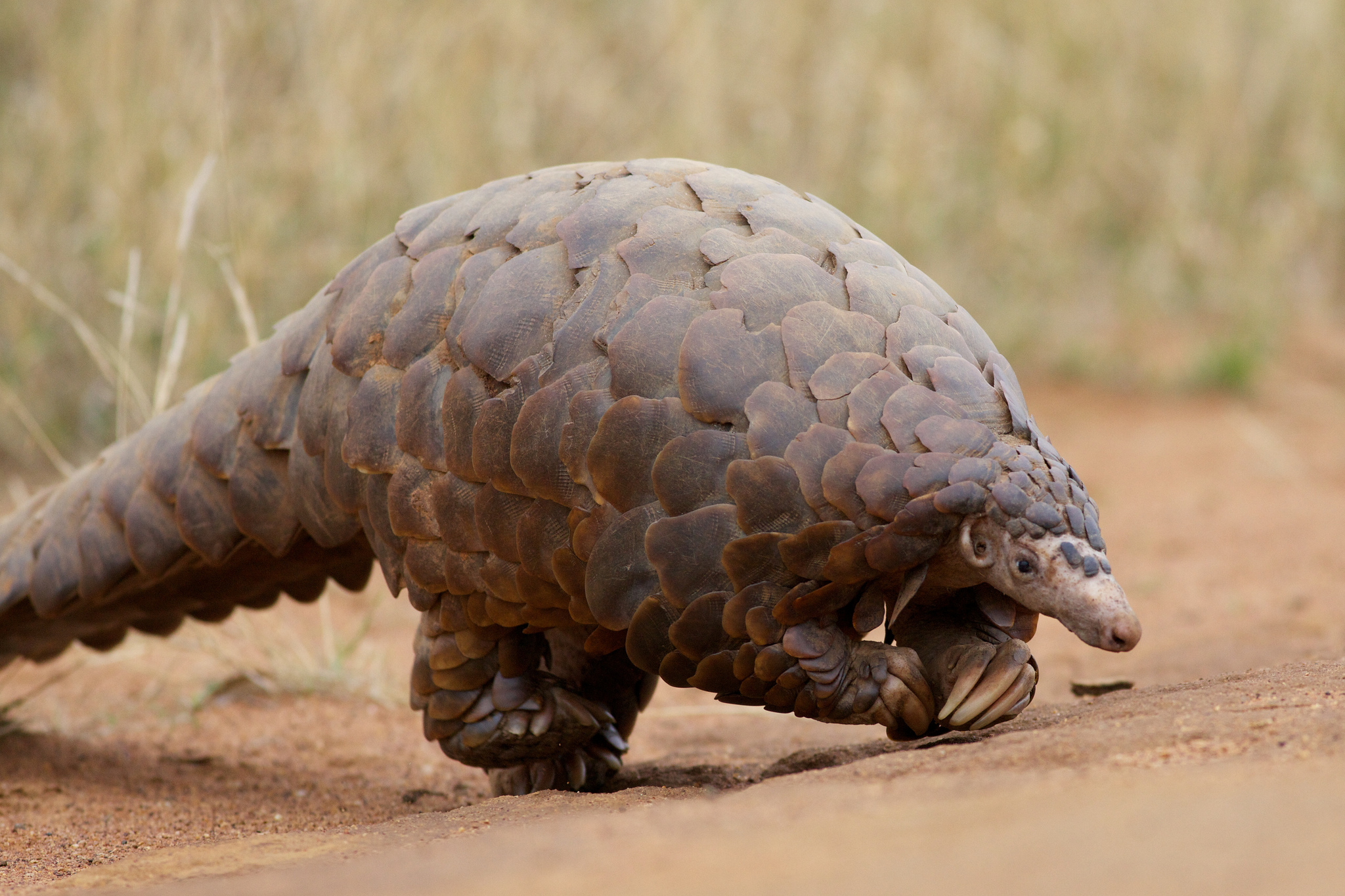 Help For Pangolins
