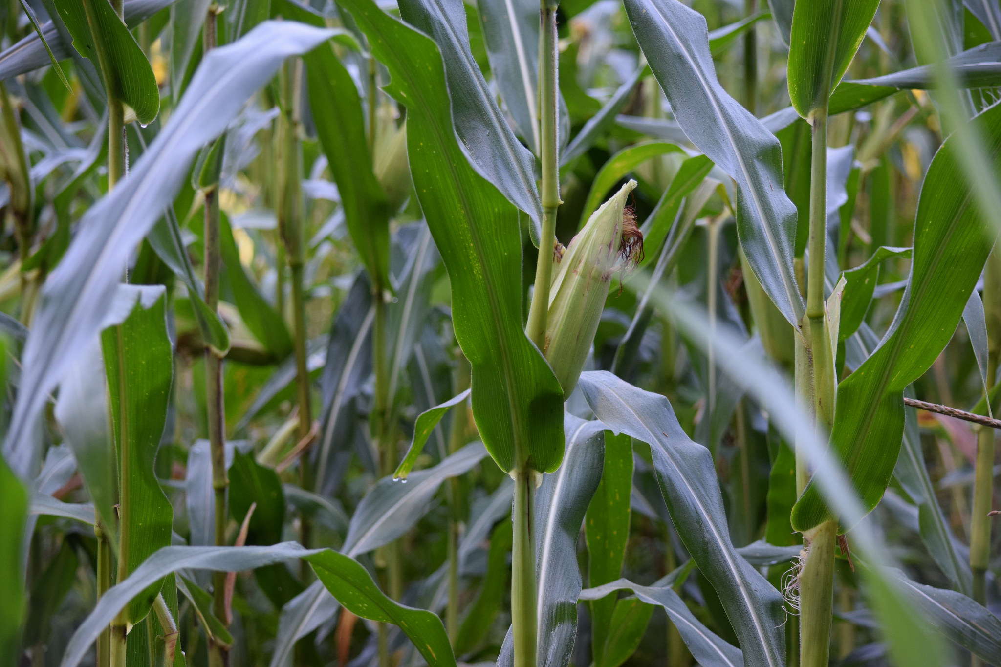 New Doubts About GMO Crops
