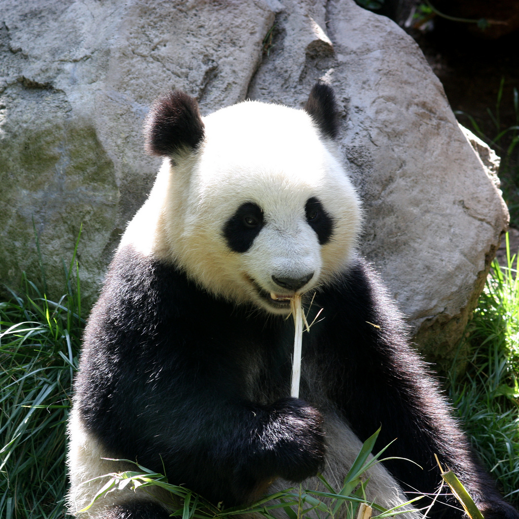 Pandas No Longer Endangered