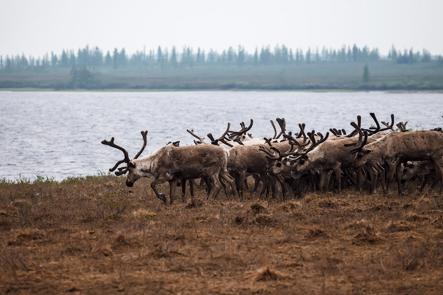 Climate Change And Reindeer