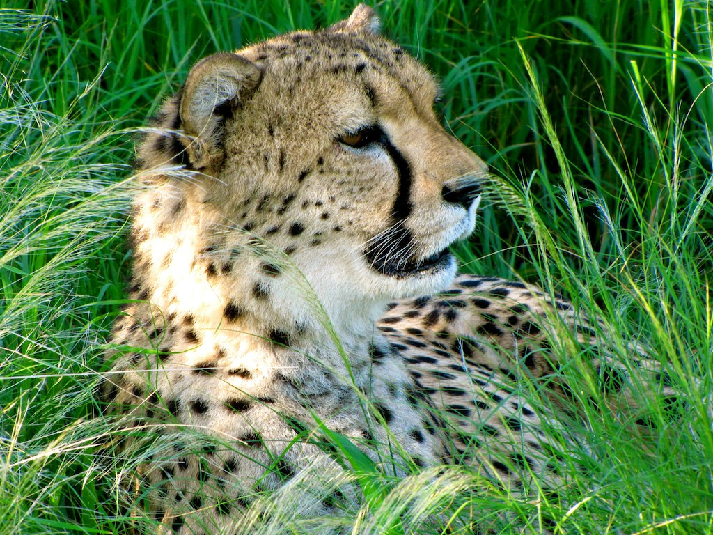 Can Cheetahs Survive?