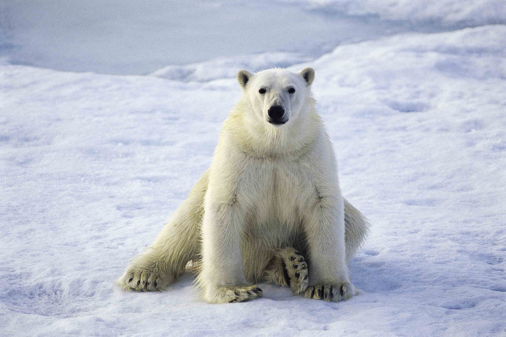 Can Polar Bears Be Saved?