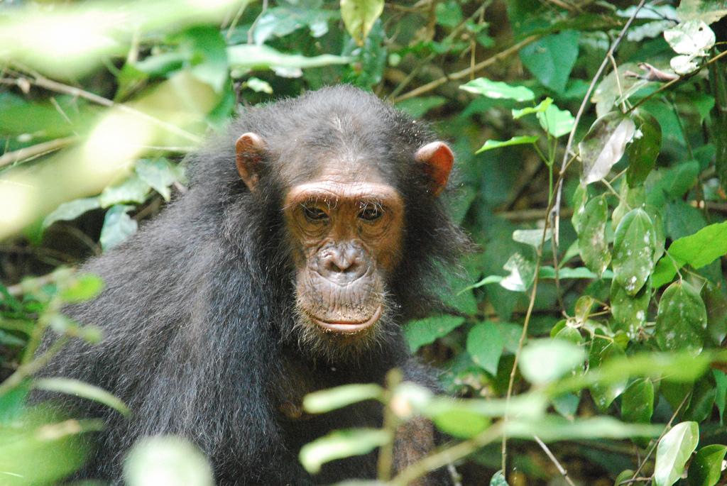 NASA And Chimpanzees