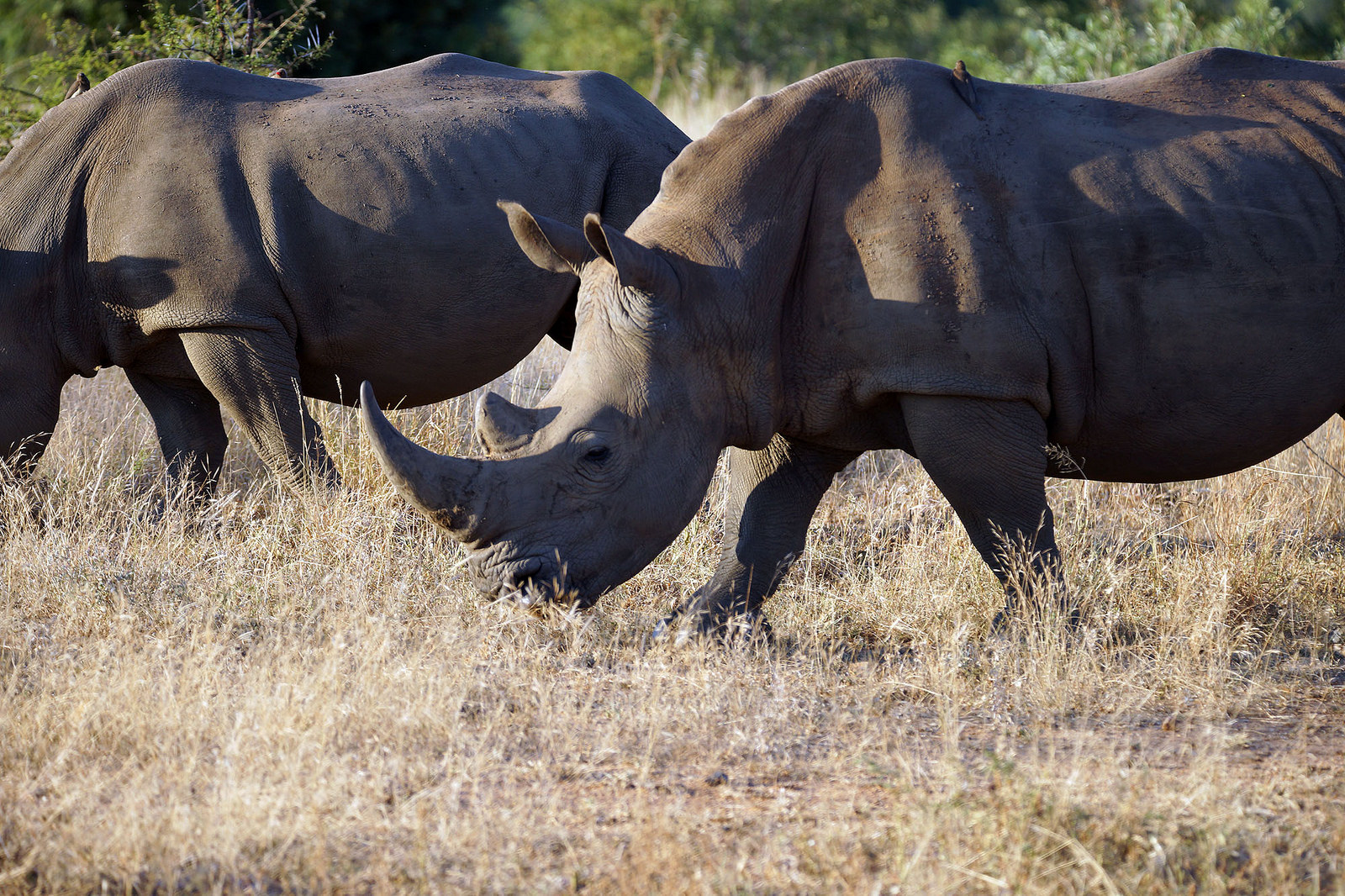 A Threat to Rhinos