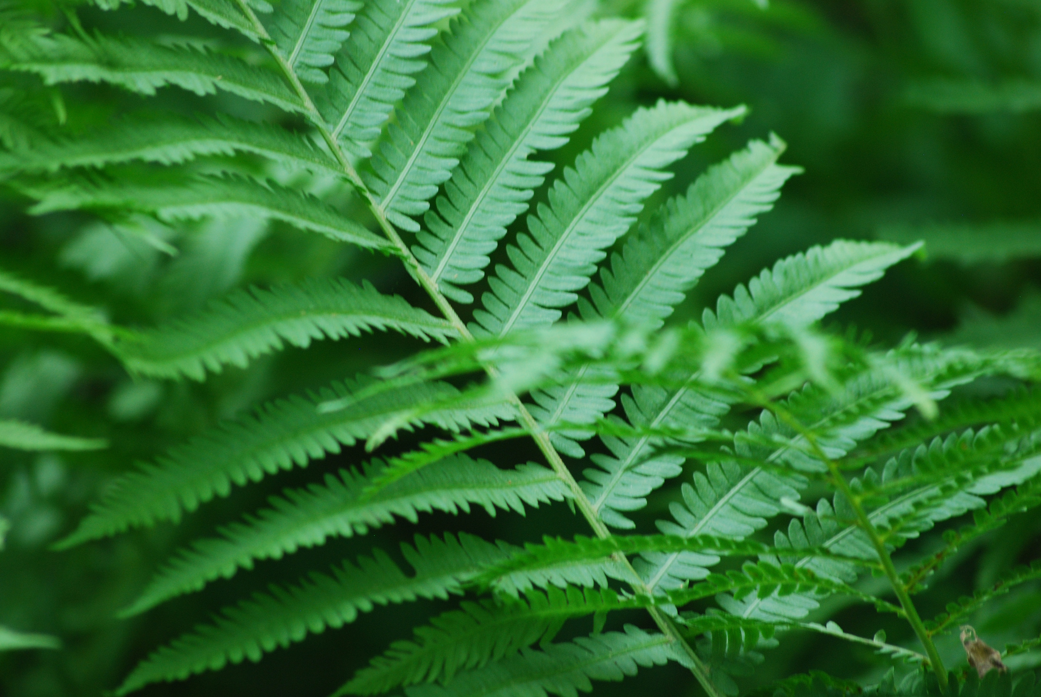 Fern-Inspired Energy Storage