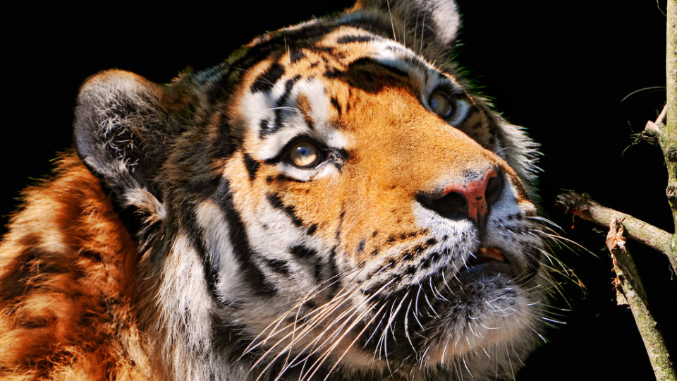 Saving The Siberian Tiger