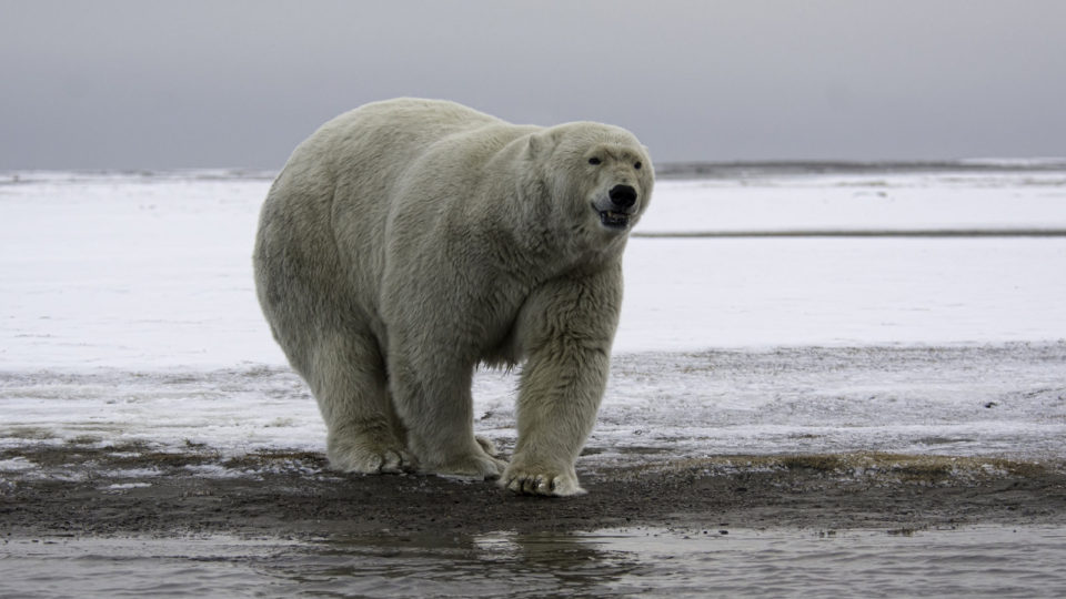 Polar Bears Are Struggling To Find Food