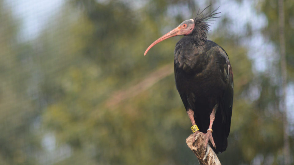 The Return Of The Bald Ibis